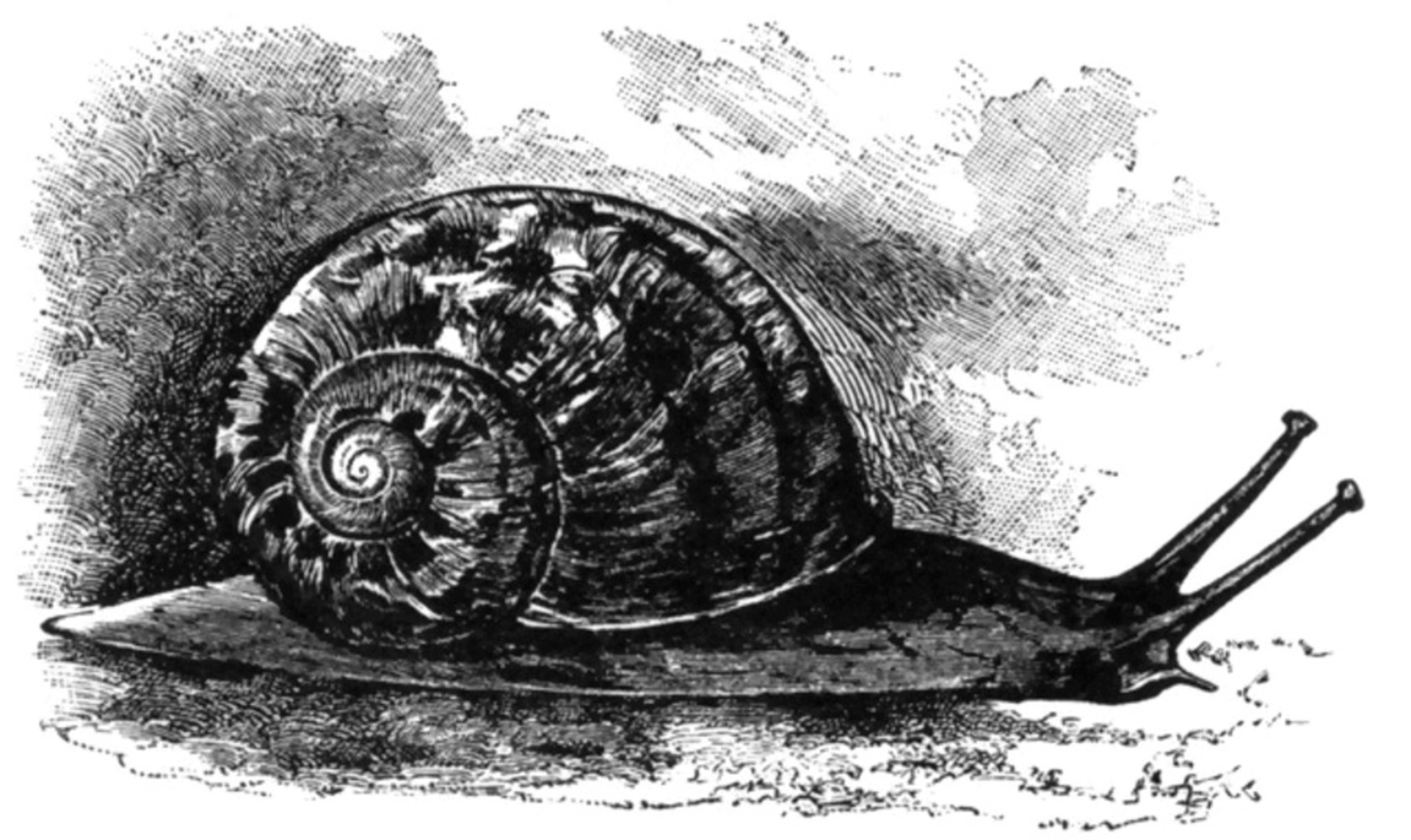 Snail.thumb