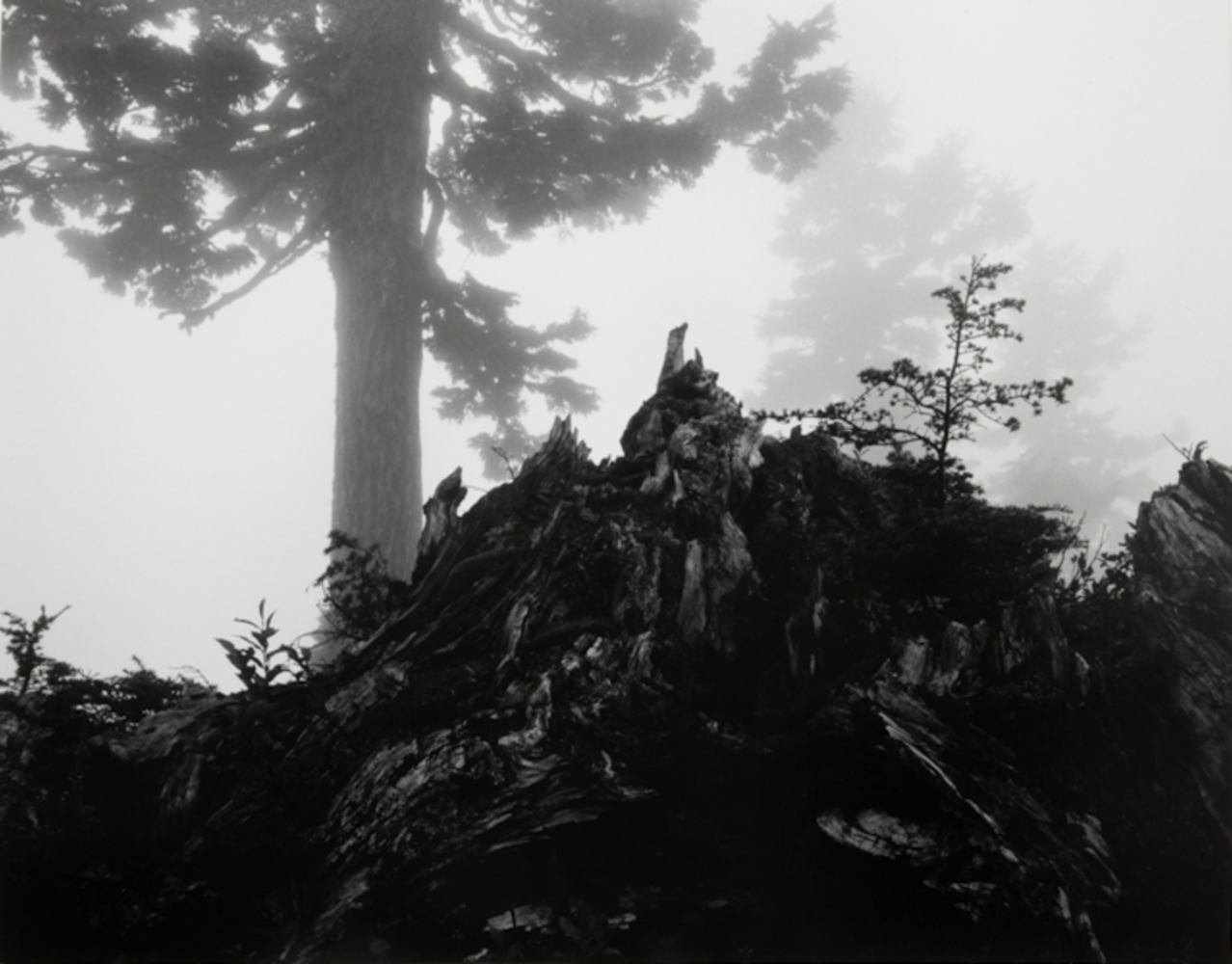 Ansel adams   tree  stump and mist.thumb